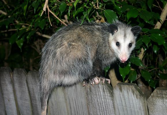 pc_opossum